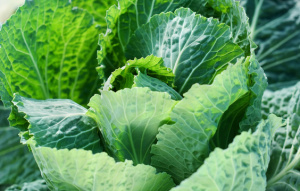 Savoy cabbage in a Greenhouse